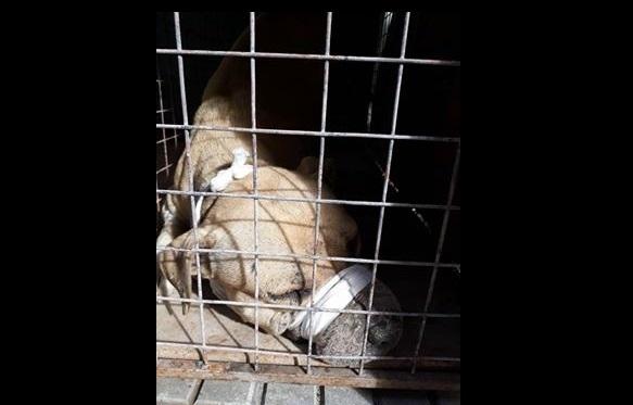 Tal como viene informando este portal de noticias, desde el pasado sábado cuando un perro de forma repentina ingresó a una vivienda atacando a los canes que allí habitan y debió asistir personal de Defensa Civil para capturarlo en una jaula prestada por la ONG PRODEA, el problema del destino del animal aún sigue sin solución