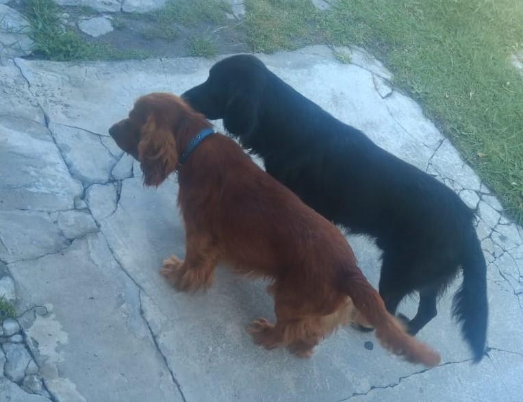 Buscan familias adoptivas para dos perros con dueños irresponsables