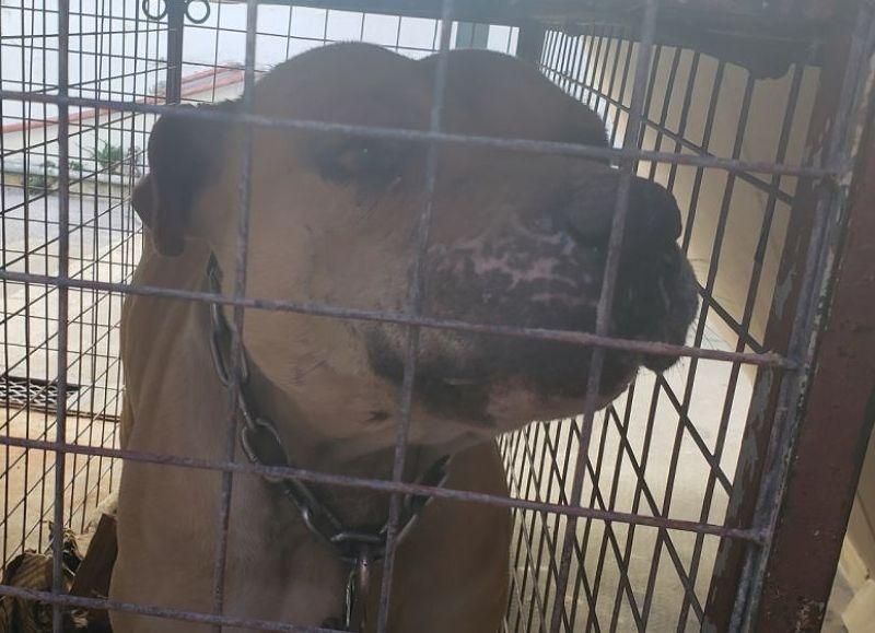 El pasado sábado, tal como informó este medio, un perro pitbull atacó a otros canes que se encontraban en el interior de una vivienda de 12 y 147, a la que ingresó de forma imprevista.