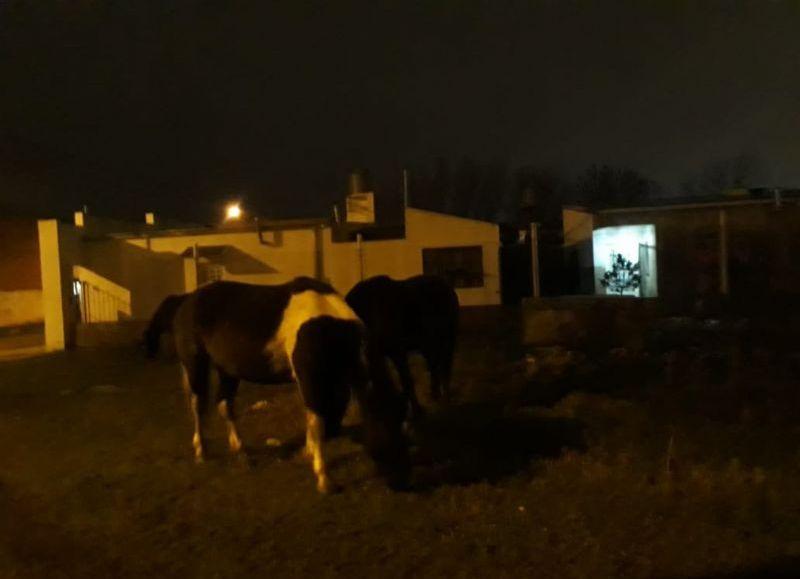 Son incalculables las veces que vecinos se comunican con este portal de noticias para enviar fotografías de caballos que pasean como panchos por su casa, sin control alguno.