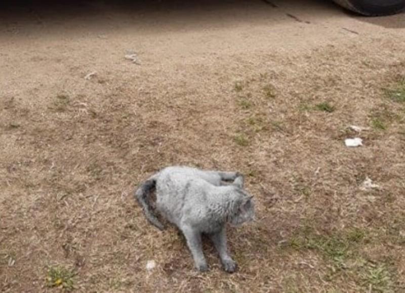 El felino había quedado atrapado en un incendio.