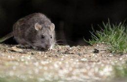 Ratón colilargo.
