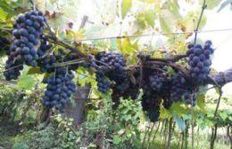 Visitas guiadas a los viñedos y a la bodega de la Cooperativa