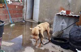 Rescataron a un pitbull en malas condiciones de salud