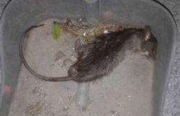 Rata encontrada en El Carmen.