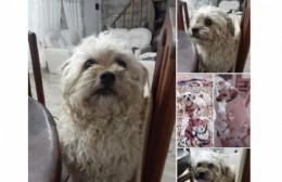 """Buscan a """"Ricardo"""", perro perdido en la zona de 17 y 159"""